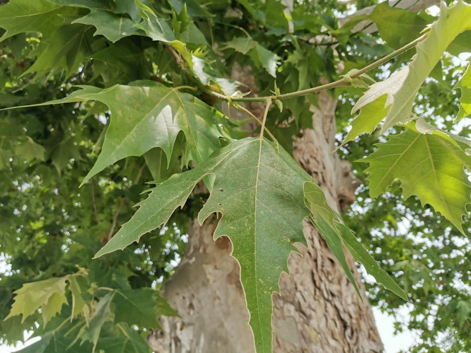 copac pomiculturii 6