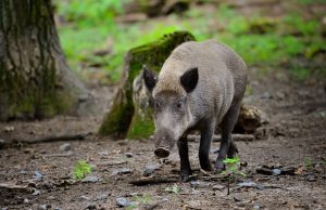 wild boar piglet young wild boar runs by the wood