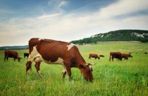 cow in meadow.