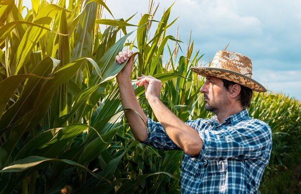 corn farmer examining crops in field